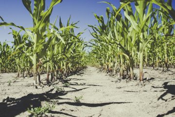 Trockenes Feld auf dem Korn wächst