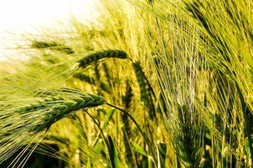 Korn im Sonnenlicht