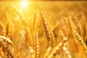 Weizen im Sonnenlicht